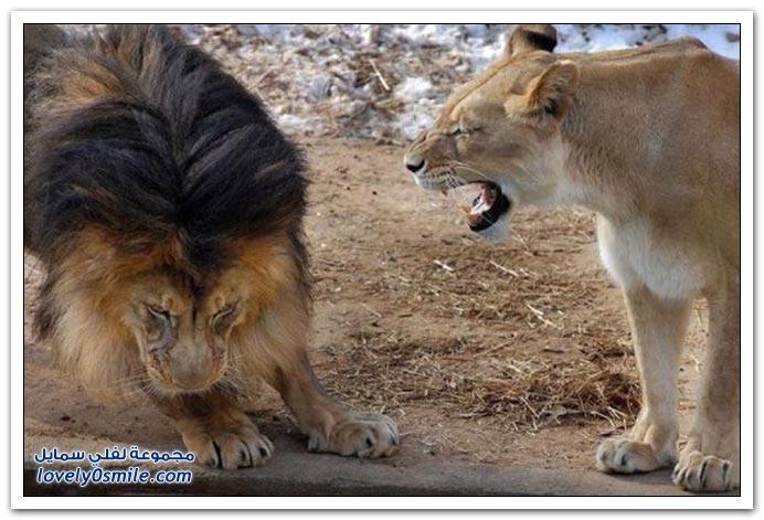 حتى الإناث عند الحيوانات يهاوشون الذكور