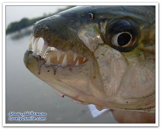 أسماك ذات أسنان وأنياب حادة