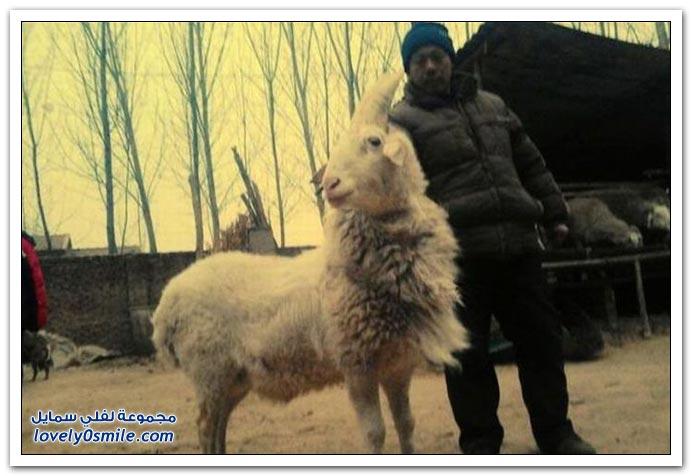 خروف آحادي القرن