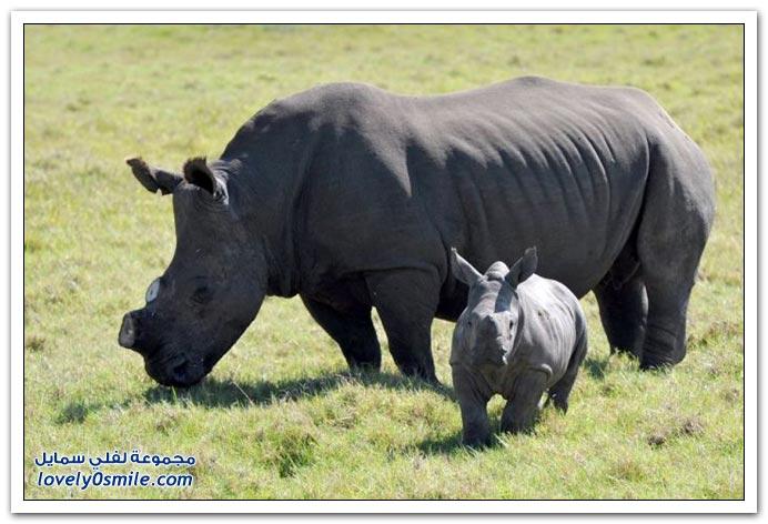 إنقاذ وحيد القرن من الصيادين بقطع قرنه