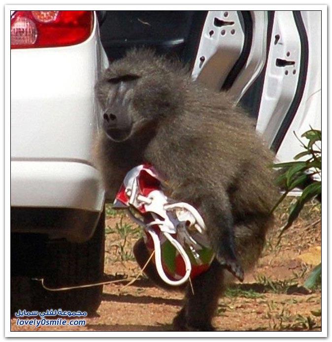 القرود وسرقة الشنط
