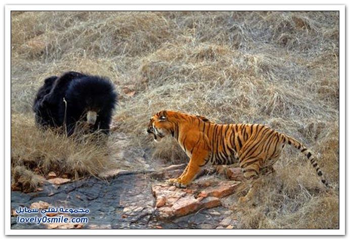 مواجهة بين النمر والدب