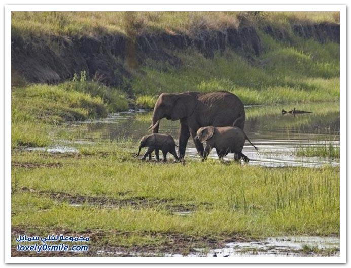 صور من عالم الحيوان: الفيل ج3