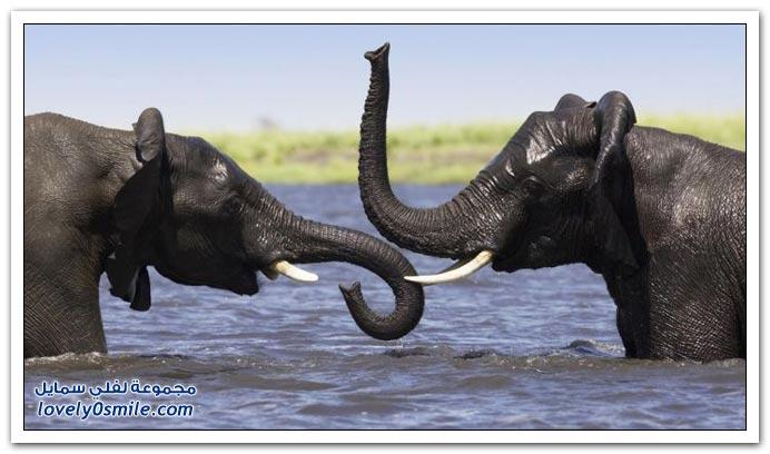 صور من عالم الحيوان: الفيل ج4