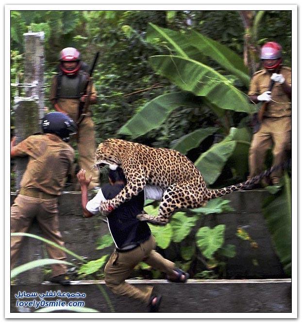 فهد يهاجم حراس غابة في الهند