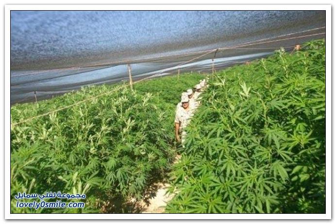 مزرعة الماريجوانا في المكسيك