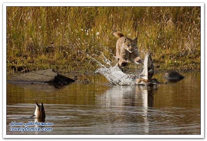 الوشق ومحاولة صيد البط