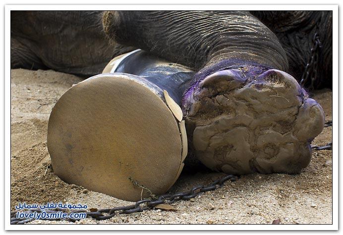 ساق صناعية لفيل