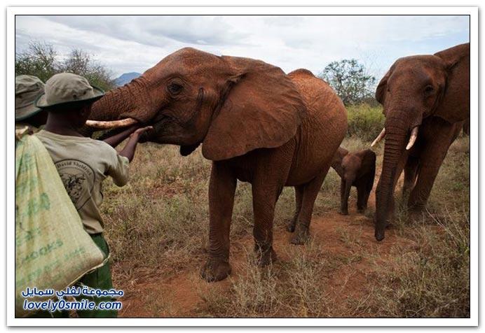 دار أيتام الفيلة في كينيا