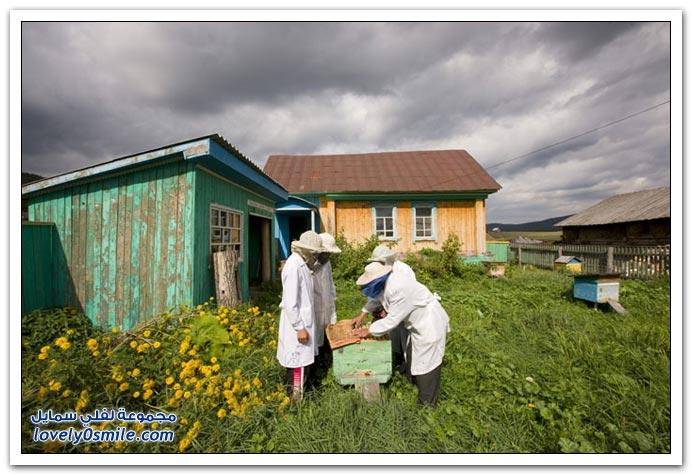 جني العسل من منطقة الأورال في روسيا