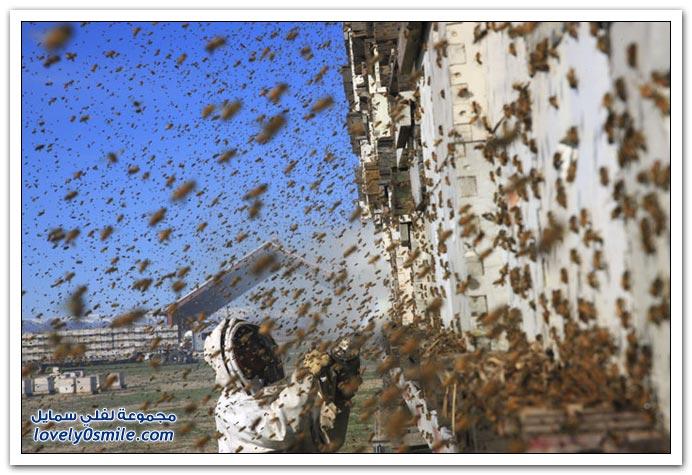 جني العسل في أحد ولايات أمريكا