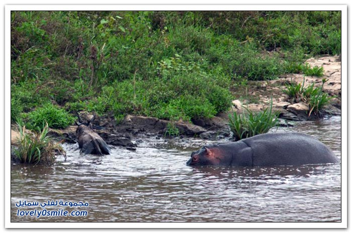 فرس النهر ينقذ ظبي من تمساح