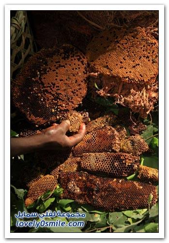 جني العسل في الكاميرون