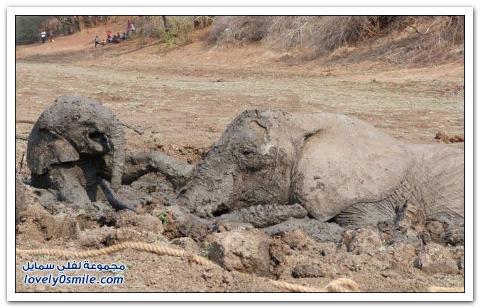 إنقاذ فيلة وطفلها من مستنقع