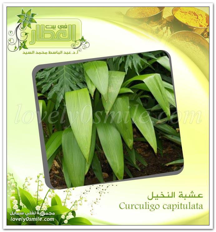 عشبة النخيل - Curculigo capitulata