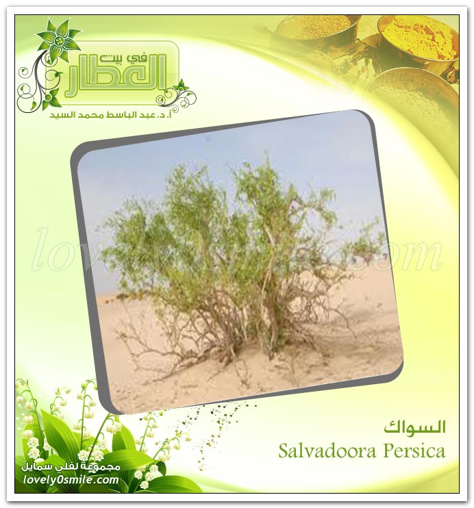 السواك ( آراك ) - Salvadoorapersica
