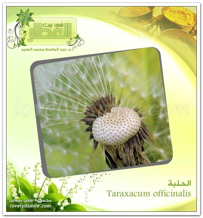 الحلبة - Taraxacum officinalis