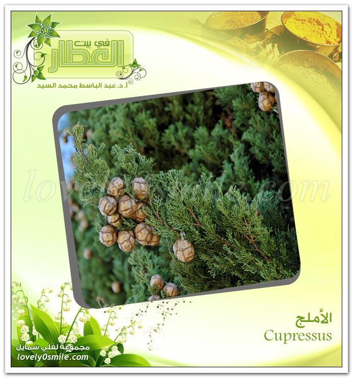 الأملج - Cupressus - لنعومة الشعر وكثافته