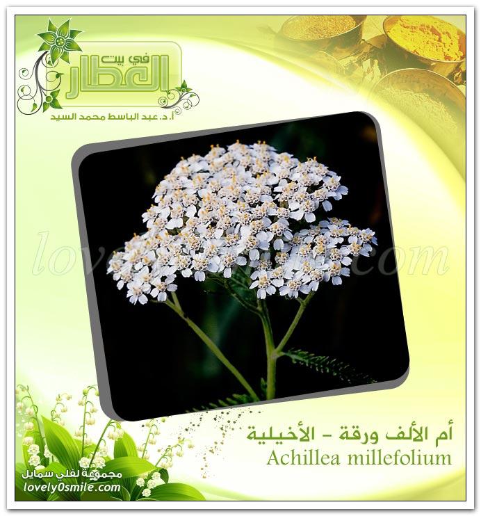 أم الألف ورقة ( الأخيلية ) - Achillea millefolium