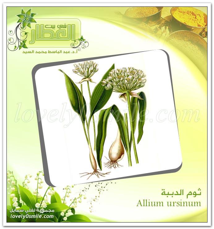ثوم الدببة - Allium ursinum + البتولا البيضاء - Betula alba
