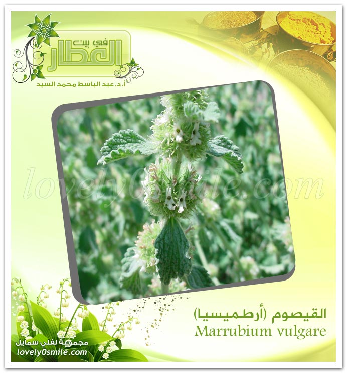 القيصوم (ارطميسيا) - Marrubium vulgare