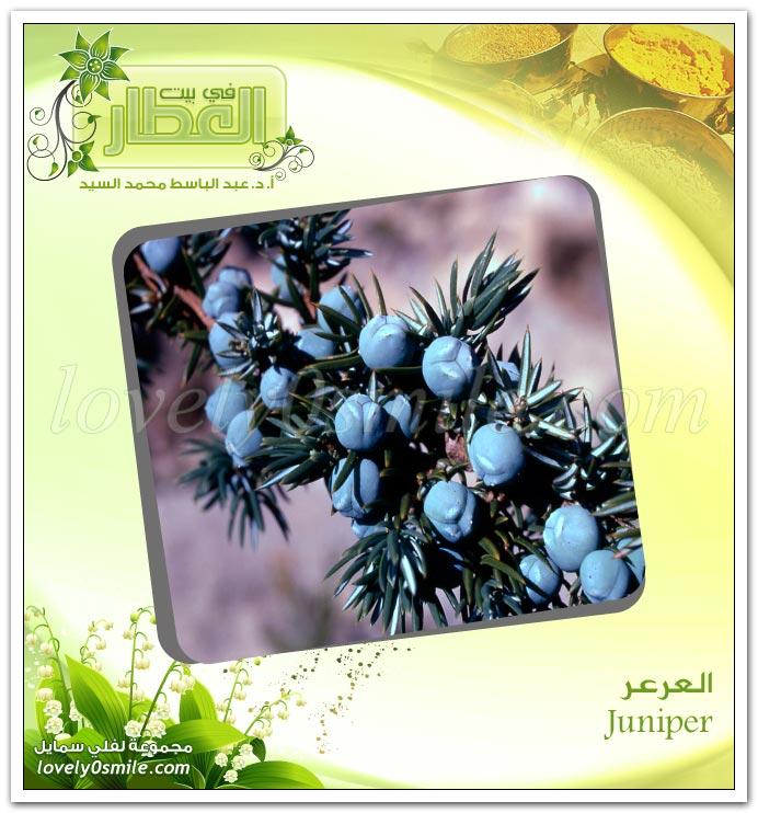 العرعر - Juniper
