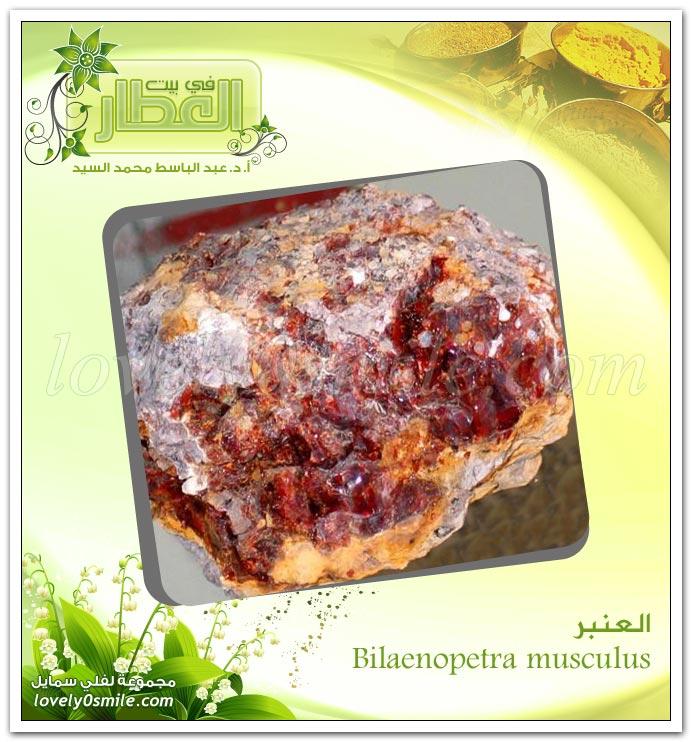 العنبر - Bilaenopetra musculus