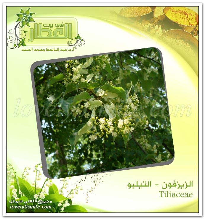التيليو (الزيزفون) - Tiliaceae