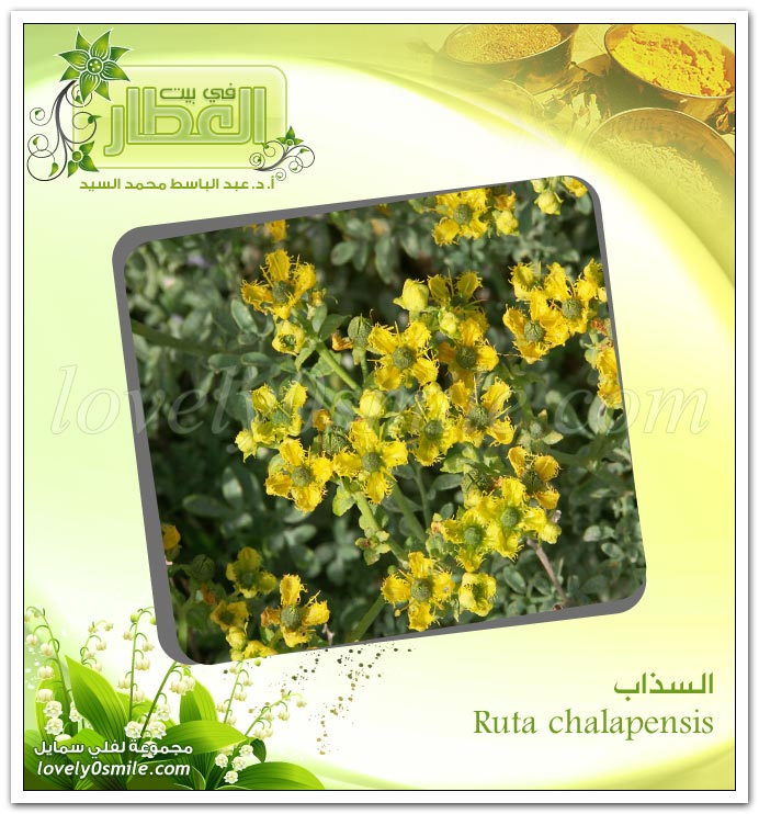 السـذاب - Ruta chalapensis