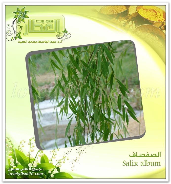 الصفصاف - Salix album