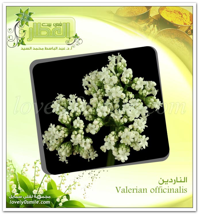 الناردين - ‎‏Valerian officinalis