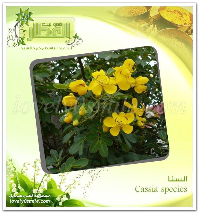 السنا المكي - Cassia species