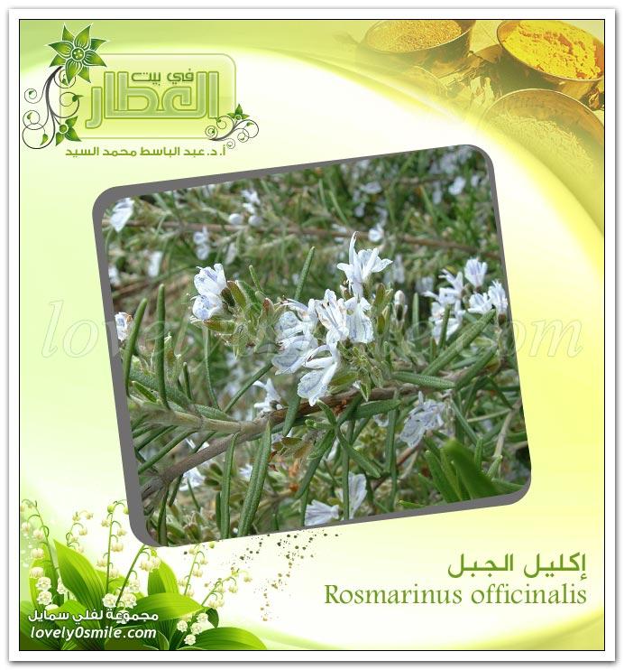 إكليل الجبل Rosmarinus officinalis