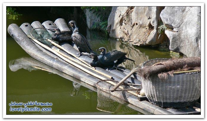 صور وفيديو: الصيد بطائر الغاق في الصين