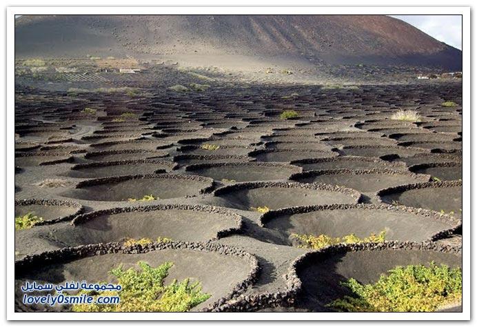 زراعة العنب في جزيرة لانزاروت البركاني بجزر الكناري في اسبانيا