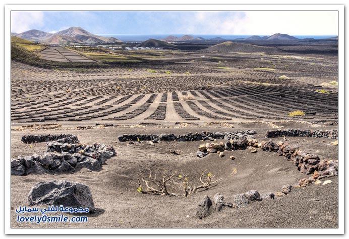 زراعة العنب في جزيرة لانزاروت البركاني في جزر الكناري اسبانيا