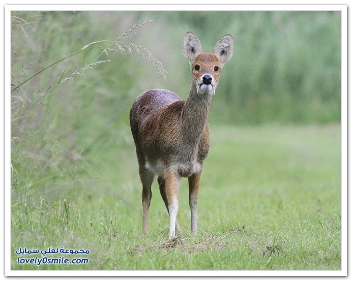 غزال المسك ذو الأنياب Deer-with-canines-02