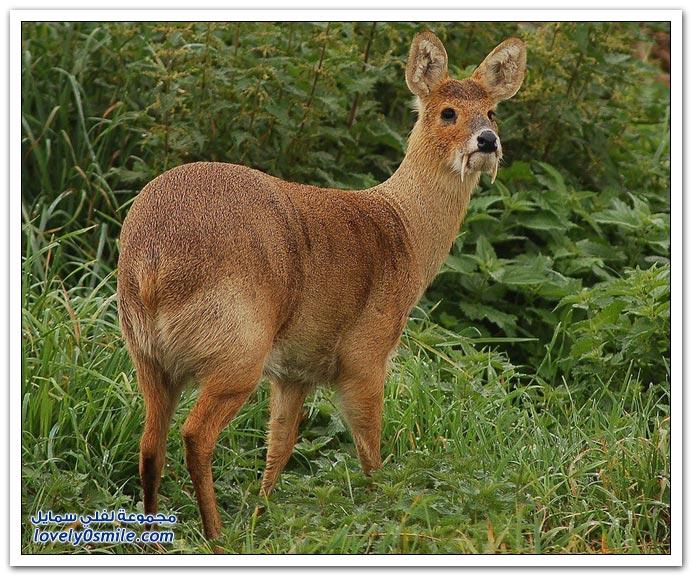 غزال المسك ذو الأنياب Deer-with-canines-03