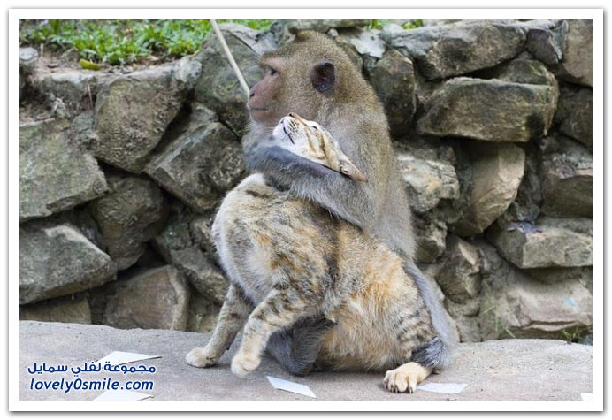 صداقة القرد والقطط في تايلاند