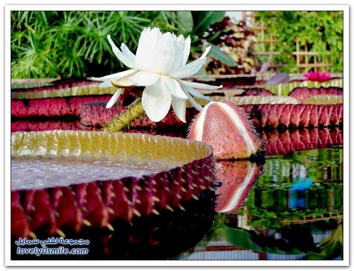 زنبق الماء العملاقة (الملكة فيكتوريا)