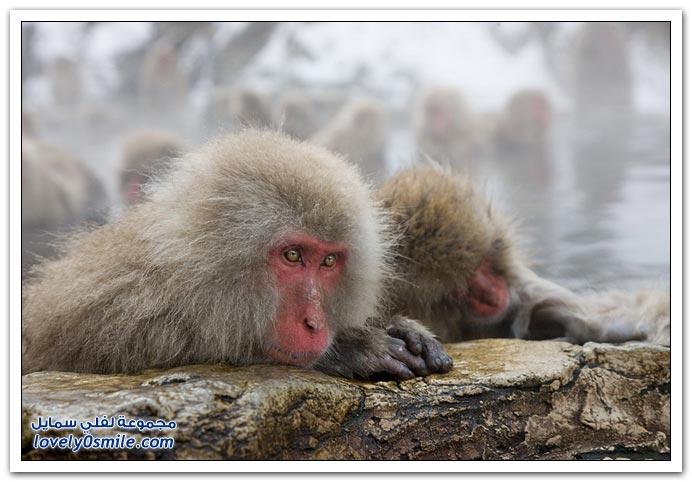 قرود منتجع وادي جهنم في ولاية ناجانو شمال اليابان