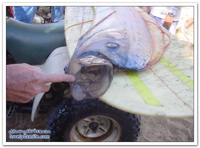 سمك ملك الرنجة