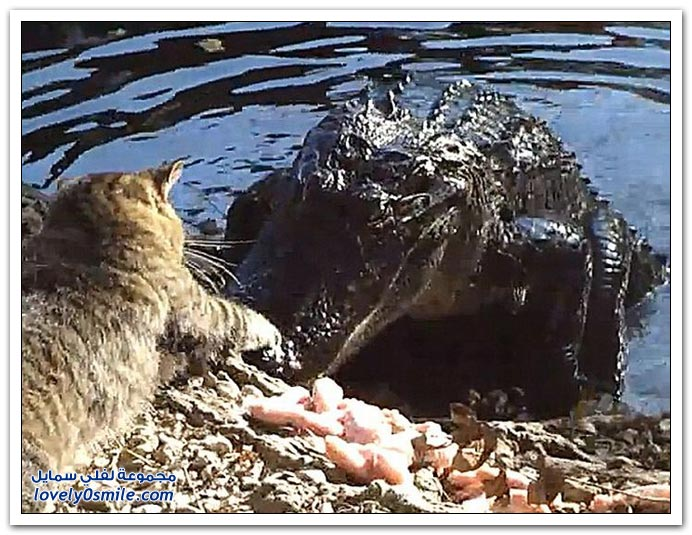 فيديو وصور: قط يهايط مع تمساح