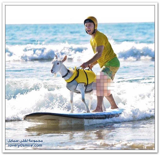 ماعز يحب ركوب الأمواج