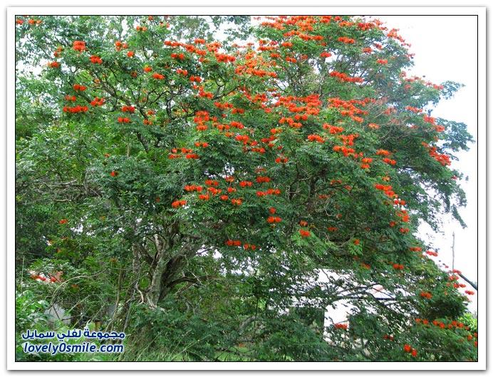 شجرة الخزامى الأفريقية