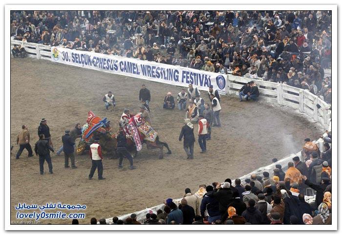 مهرجان مصارعة الهجن السنوي غرب أزمير التركية