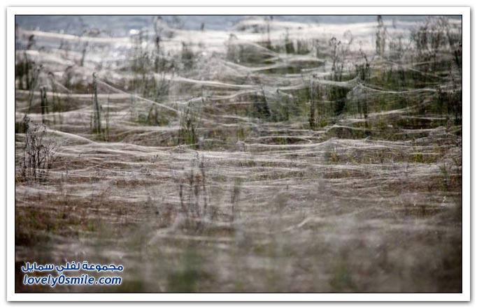 غزو العناكب في استراليا نتيجة لهروبها من الفيضانات