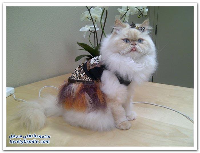 قطـــه باخر زمــن لاتفوتــــكــم Pampered-cats-03.jpg