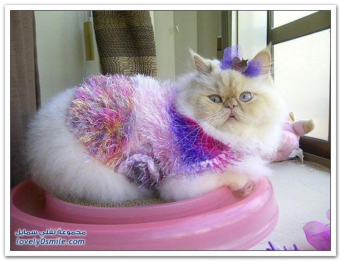 قطـــه باخر زمــن لاتفوتــــكــم Pampered-cats-04.jpg