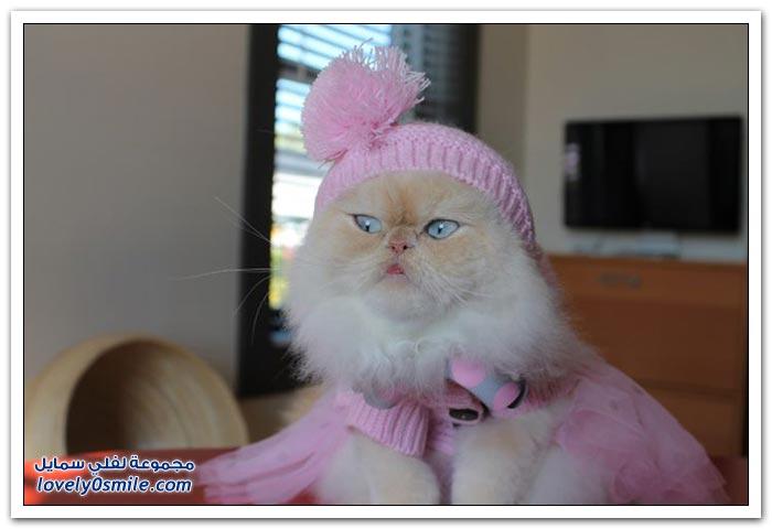 قطـــه باخر زمــن لاتفوتــــكــم Pampered-cats-09.jpg